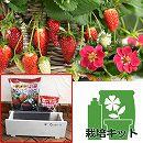 イチゴ栽培セット:四季なりいちご紅茜