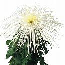[17年4月中旬予約]大菊管物(くだもの):玉穂の白銀2.5号ポット