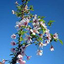 桜:湖上の舞樹高80〜90cm根巻きまたはポット入り