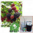 ブラックベリーの果樹鉢・オベリスク栽培セット