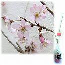 桜の苗木ギフト:啓翁(ケイオウ)桜・「おめでとうございます」カード付