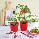 ハートの実がなるハートマト栽培セット