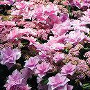 アジサイ:星の桜(ほしのさくら)3.5号ポット