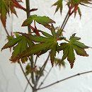 モミジ(カエデ):イロハモミジ樹高1.5m根巻き