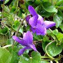 スミレ:トラベック(青紫・原種)*3〜3.5号ポット