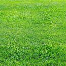 芝の種:トールフェスク コロナ1kg