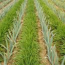 [タネ]マルチ大麦 百万石 1kg